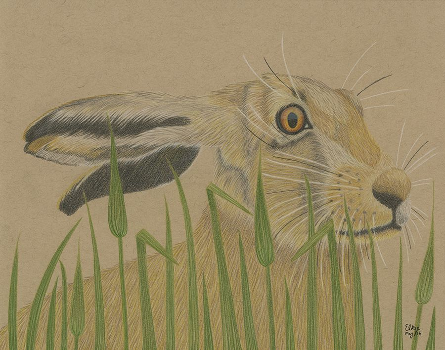 The Sandy Hare in the Long Grass